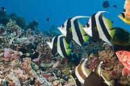 Pennant Coralfish-Poisson cocher commun (Heniochus acuminatus), Rangiroa atoll, ranch Polynesia.
