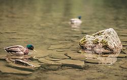 THEMENBILD - ein männliche Stockente (Erpel) schwimmt im klaren Wasser eines Bergsees. Der Hintersee ist ein kleiner Gebirgssee in 1313 m Höhe im Talschluss des Felbertals in Mittersill. Der Bergsee ist ein Naturdenkmal und wurde unter Schutz gestellt. Der Hintersee gilt als Geheimtipp, Erholungsgebiet und ein Platz, den man gesehen haben muss, aufgenommen am 23. Juni 2019, am Hintersee in Mittersill, Österreich // a male mallard duck (drake) swims in the clear water of a mountain lake. Hintersee is a small mountain lake 1313 m above sea level at the end of the Felbertal valley in Mittersill. The mountain lake is a natural monument and was placed under protection. The Hintersee is an insider tip, a place you must have seen and a recreation area on 2019/06/23, Hintersee in Mittersill, Austria. EXPA Pictures © 2019, PhotoCredit: EXPA/ Stefanie Oberhauser