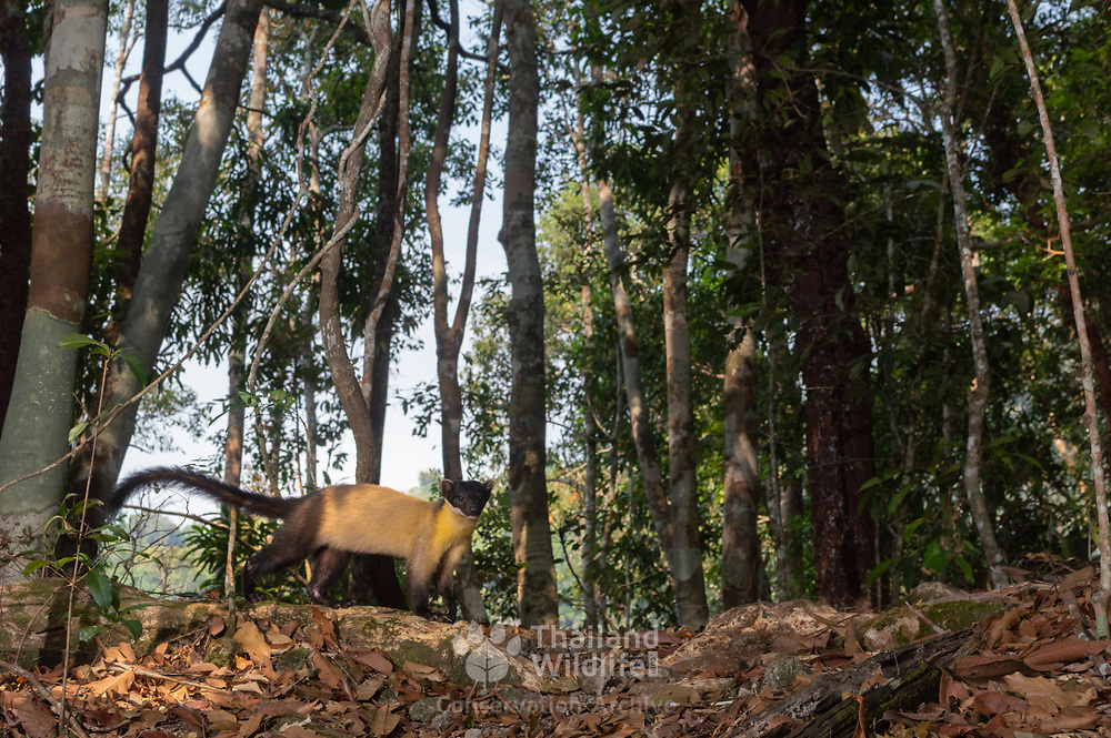 Yellow-throated marten (Martes flavigula). Kaeng Krachan National Park, Thailand.