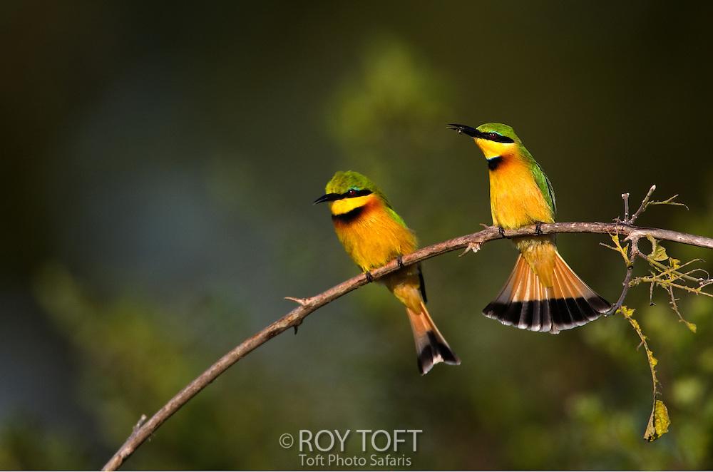 Pair of little bee-eaters birds (Merops pusillus) sitting on branch, Botswana.