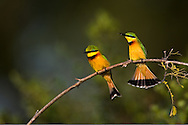 Pair of little bee-eaters birds (Merops pusillus) sitting on branch, Botswana.