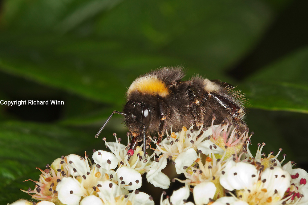 White tailed bumblee (Bombus lucorum) with proboscis visible while collecting nectar from a Cotoneaster flower.