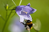 Insects - Bombus - Bumle bees