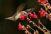 Anna's Hummingbird, California, North America