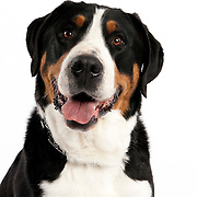 Swiss Mountain Dog smiling and looking at camera head shot on white
