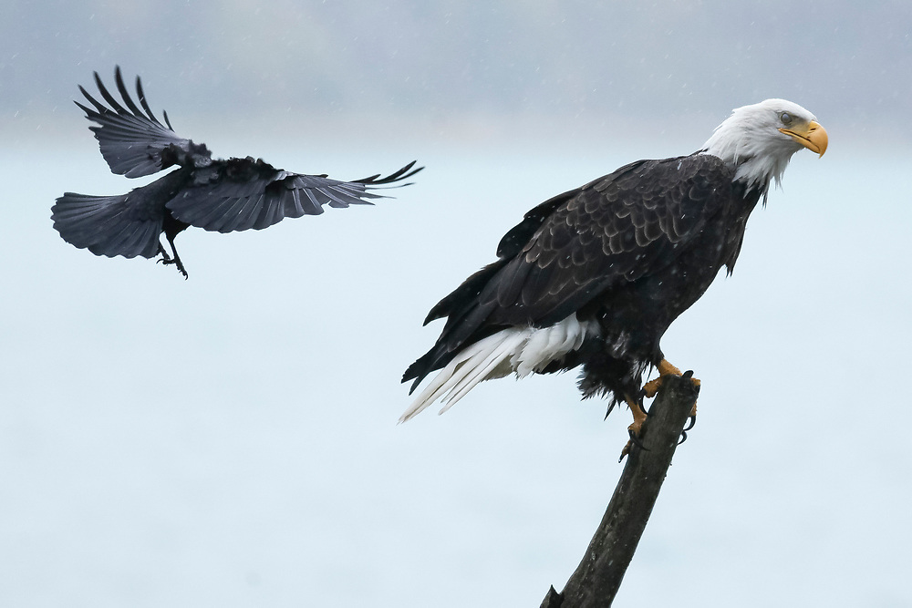 Bald eagle swooped by raven (Haliaeetus leucocephalus), Alaska, Chilkoot River, near Haines, Taken 10.13