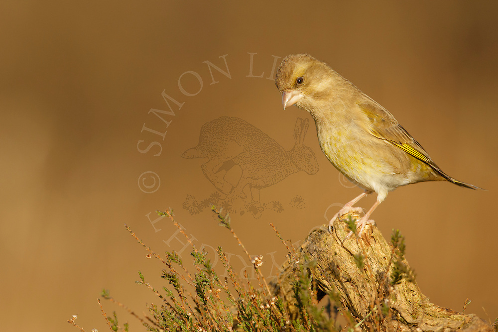 Greenfinch (Carduelis chloris) adult female perched on fallen branch on heathland, Norfolk, UK.