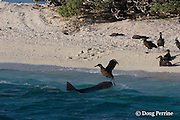 tiger shark, Galeocerdo cuvier, makes unsuccessful lunge at fledgling black-footed albatross chick, Phoebastria nigripes, at beach where the chicks gather to prepare to take their first flight, East Island, French Frigate Shoals, Papahanaumokuakea National Monument, <br /> Northwest Hawaiian Islands ( Central Pacific Ocean ) #2 in series of 3