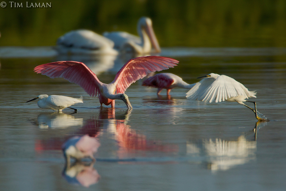 Roseate Spoonbill (Ajaia ajaja) foraging with Snowy Egrets and American White Pelicans..Everglades National Park, Eco Pond.