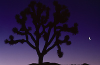 A Joshua tree silhouetted against a night sky and a crescent moon.