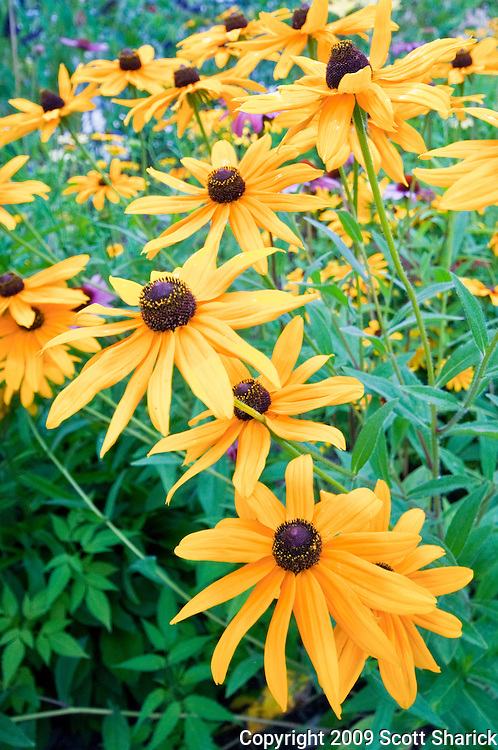 An image of a group of yellow daisies in Rochester, New York. Missoula Photographer