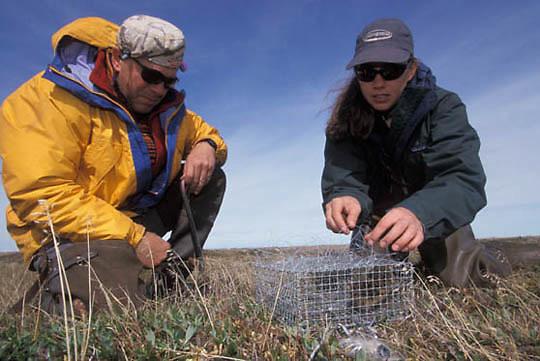Snowy Owl, (Nyctea scandiaca) Denver Holt and Laurie Phillips prepares Bal-Shatri trap for owls. Barrow, Alaska