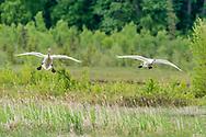 Trumpeter Swans (Cygnus buccinator) landing at Potter Marsh in Southcentral Alaska. Spring. Morning.