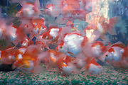 tropical fish in aquarium
