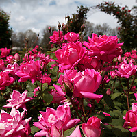 San Jose Rose Garden 2015