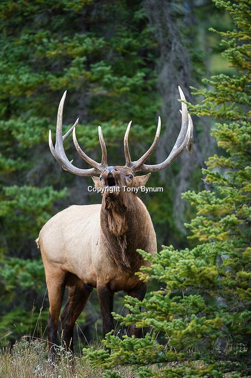 bull elk in forest bugling