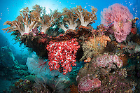 Coral Head with Colorful Soft Corals<br /> <br /> Shot in Indonesia