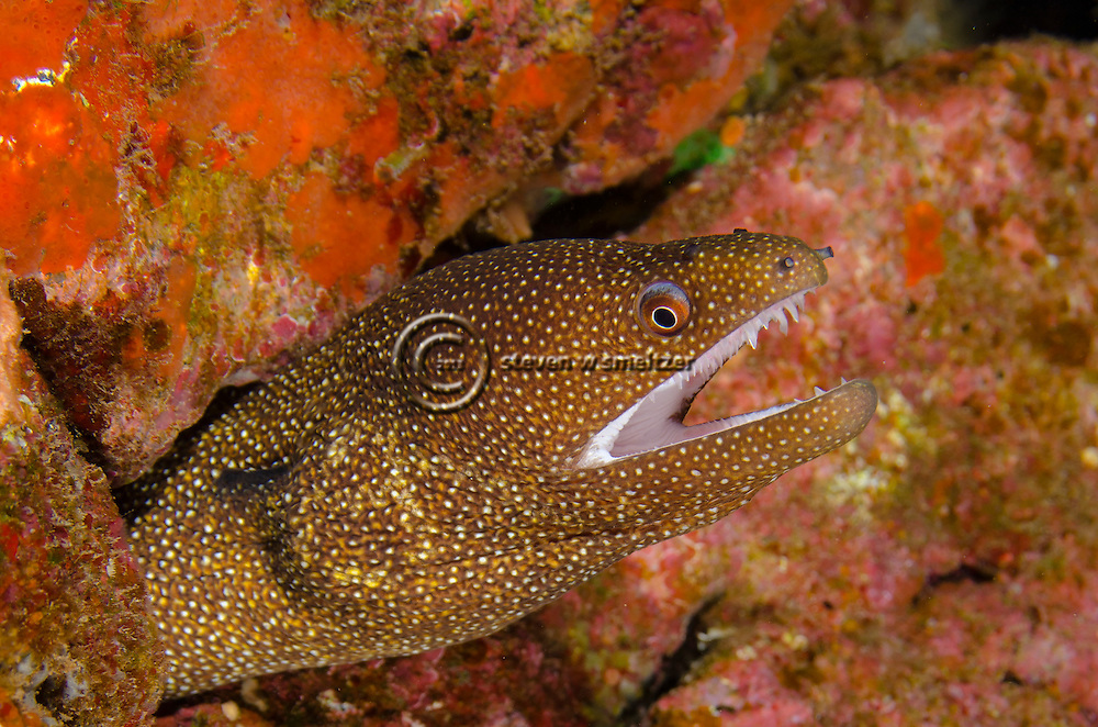 Whitemouth Moray, Gymnothorax meleagris, (Shaw & Nodder, 1795), Molokini Crater, Hawaii
