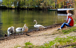 THEMENBILD - ein Kind mit der Oma füttert Hoeckerschwaene am Ufer, aufgenommen am 30. April 2016, am Zeller See, Zell am See, Oesterreich // a child with her grandmother feeds mute swans on the banks at the Lake Zell, Zell am See, Austria on 2016/04/30. EXPA Pictures © 2016, PhotoCredit: EXPA/ JFK