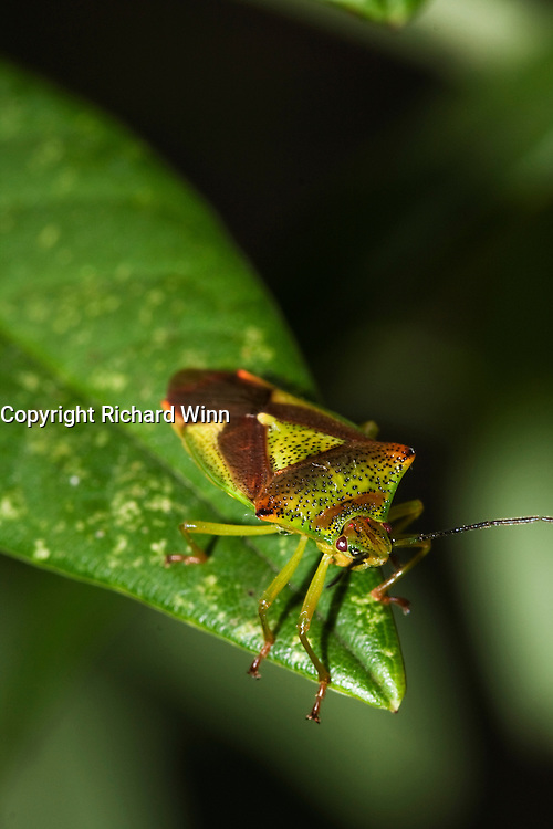 While the camouflage is designed to be a perfect match for the hawthorn, the hawthorn shield bug is found in hedgerows generally and this Cotoneaster is a pretty good match.