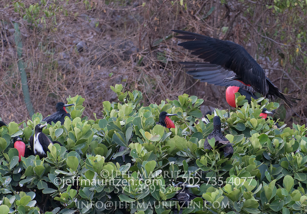 A male magnificent frigatebird lands on a tree filled with other frigatebirds.