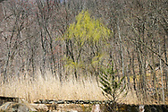 A young weeping will tree stands out in an early Springtime budding forest. A stone wall and pale grass from previous seasons in the foreground set off the scene. <br /> <br /> Willow trees are among the first to offer color early in Spring. While the Maples are barely beginning to leaf, the Weeping Willow is already gracing the landscape with a beautiful wash of chartreuse. <br /> <br /> For IMAGE LICENSING just click on the &quot;add to cart&quot; button above.<br /> <br /> Fine Art archival paper prints for this image as well as canvas, metal and acrylic prints available here:<br /> https://2-julie-weber.pixels.com/featured/first-color-julie-weber.html