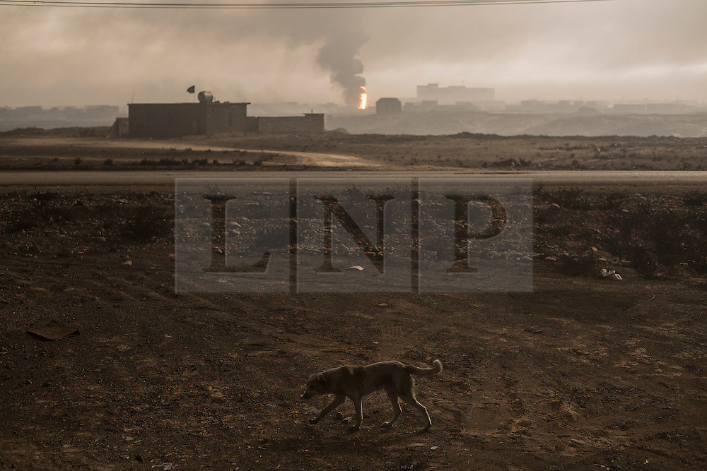 Licensed to London News Pictures. 08/11/2016. Qayyarah, Iraq. A dog walks through a soot blackened landscape as smoke and flames rise from a burning oil facility in the town of Qayyarah, Iraq. Oil wells in and around the town of Qayyarah, Iraq, we set alight in July 2016 by Islamic State extremists as the Iraqi military began an offensive to liberated the town.<br /> <br /> For two months the residents of the town have lived under an almost constant smoke cloud, the only respite coming when the wind changes. Those in the town, despite having been freed from ISIS occupation, now live with little power, a water supply tainted with oil that only comes on periodically and an oppressive cloud of smoke that coats everything with thick soot. Many complain of respiratory problems, but the long term health implications for the men, women and children living in the town have yet to be seen. Photo credit: Matt Cetti-Roberts/LNP