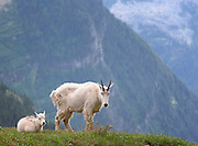 A nanny mountain goat (Oreamnos americanus) and her kid rest in an Alpine meadow, Northern Montana