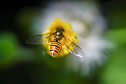 Bee pollinating a flower. Selective focus
