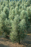 Olive grove of traditional olive trees near Montalcino in Val D'Orcia, Tuscany, Italy