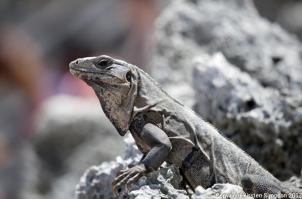 Iguanas at Tulum
