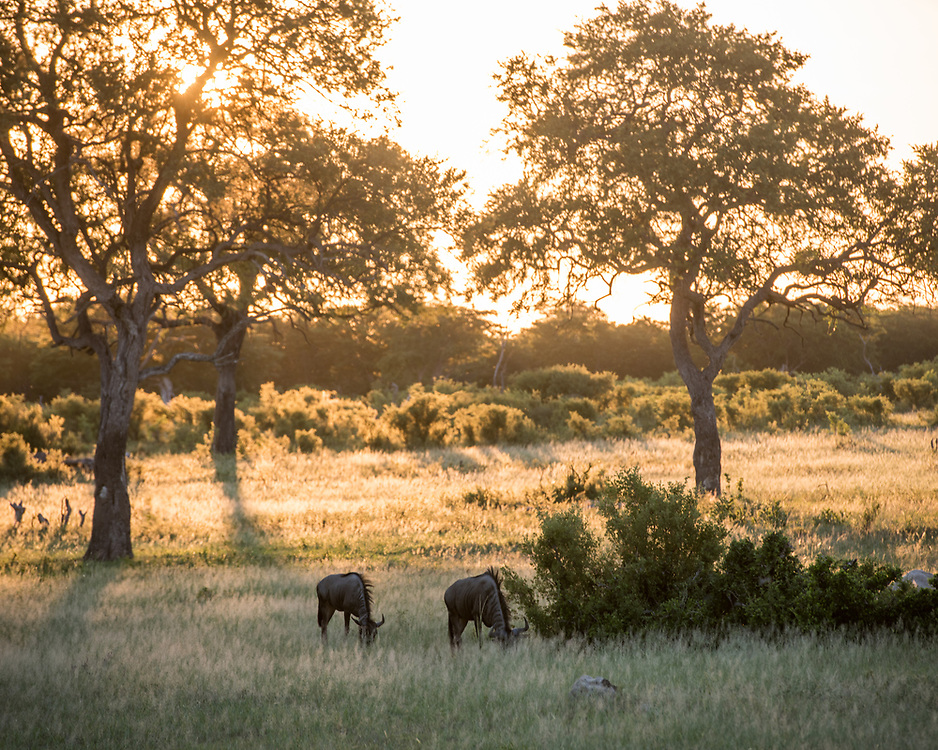 As the sun sets, two wildebeests graze on the grasslands of Hwange National Park. Hwange, Zimbabwe.