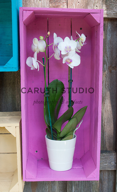 Potted orchid displayed in a painted pink wood crate