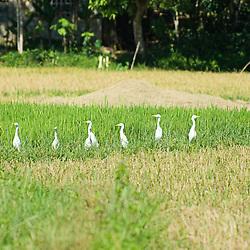 Bubulcus ibis (cattle egrets) in a row, Lezo, Aklan