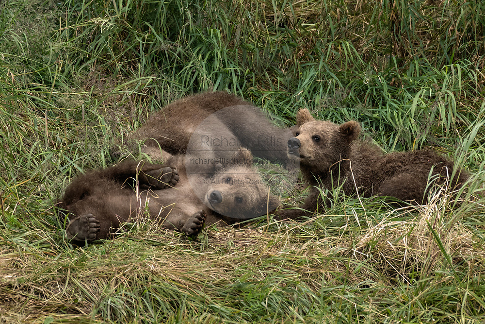 Brown bear spring cubs play together in the grass at the McNeil River State Game Sanctuary on the Kenai Peninsula, Alaska. The remote site is accessed only with a special permit and is the world's largest seasonal population of brown bears in their natural environment.