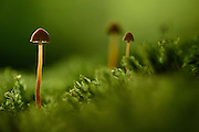 Fungus growing up through moss, Kaltenhofer Moor, Kiel, Germany