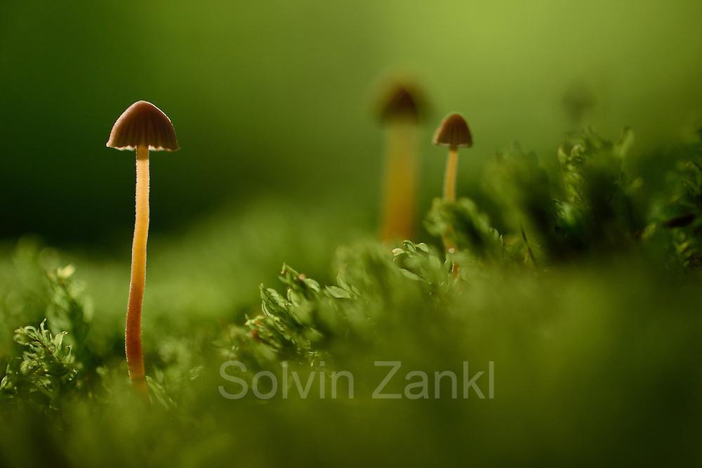 Fungus growing up through moss, Kaltenhofer Moor, Kiel, Germany