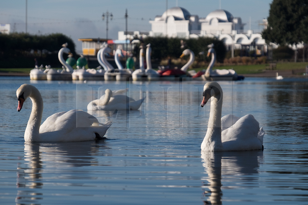 © Licensed to London News Pictures. 02/11/2016. Portsmouth, UK.  Swans on Southsea Canoe lake in Southsea this morning, 2nd November 2016.  Today is set to be fine and dry across the South of the UK. Photo credit: Rob Arnold/LNP