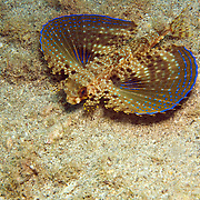 Flying Gurnard inhabit areas of sand, coral rubble and seagrasses, often near shallow patch and fringe reefs in Tropical West Atlantic; picture taken St. Vincent.