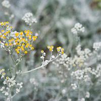 Wild yellow flower in garden, Solvang, California, USA
