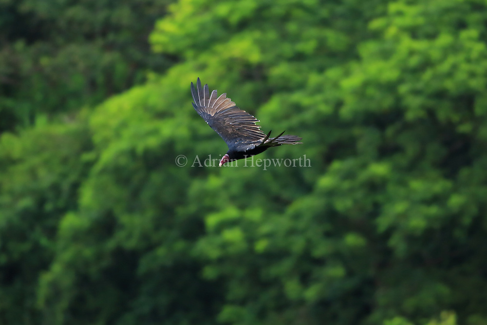 Turkey Vulture (Cathartes aura) flying over rainforest in Tortuguero National Park, Costa Rica.