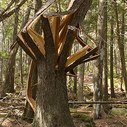 A broken spruce tree near Eagle Lake in Acadia National Park USA