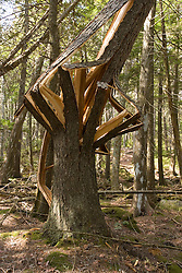 A broken spruce tree near Eagle Lake in Acadia National Park USA