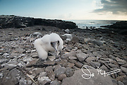 A Nazca booby chick on Española island in the Galapagos.