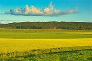 Canola crop in bloom<br />Cacoona Est<br />Quebec<br />Canada