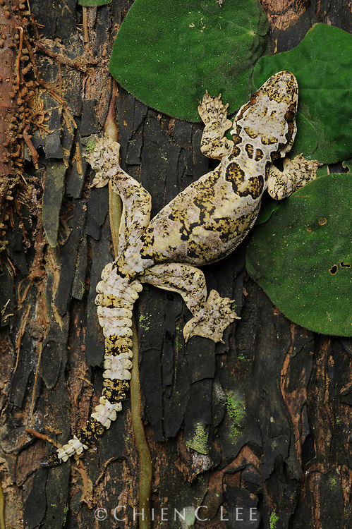 Horsfield's Gliding Gecko (Ptychozoon horsfieldii). Sabah, Malaysia.