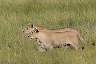 Two African lions, Duba Plains, Botswana