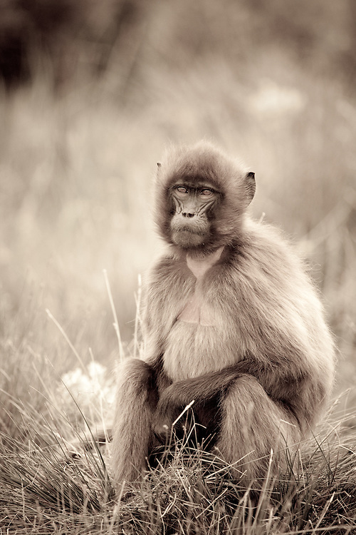 Female Gelada baboon, Theropithecus gelada, on the Guassa Plateau of the Ethiopian Highlands