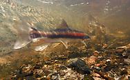 Longnose Sucker <br /> <br /> Paul Vecsei/ENGBRETSON UNDERWATER PHOTO