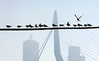 Nederland Rotterdam 19 december 2007 <br /> Skyline van Rotterdam met op de voorgrond meeuwen, achtergrond montevideo, erasmusbrug <br /> Foto David Rozing/ Hollandse Hoogte